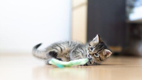【子ネコ】覚悟は?初めて新しく家族に子ネコを迎える時 お迎え準備と知識