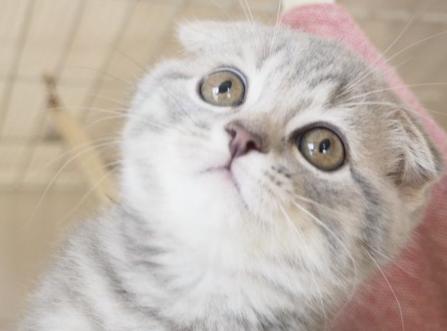 【ねこ図鑑】スコティッシュフォールド 倒れた耳が特徴の猫