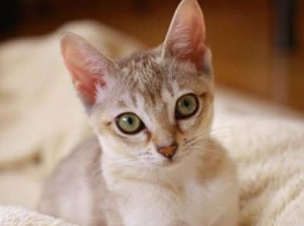 【ねこ図鑑】シンガプーラ 小さな妖精と呼ばれる猫